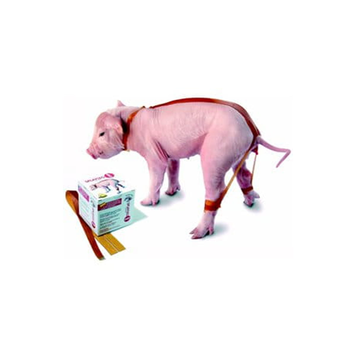 Splayleg correa para cerdo enfermo